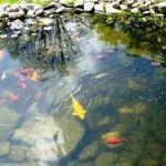 Как разводить рыбу в пруду на даче? Какую рыбу разводить